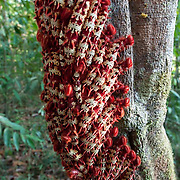 Caterpillars surround tree trunk in Amazon, Brazil