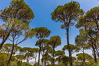Pine trees forest of Jezzine in South Lebanon Middle east