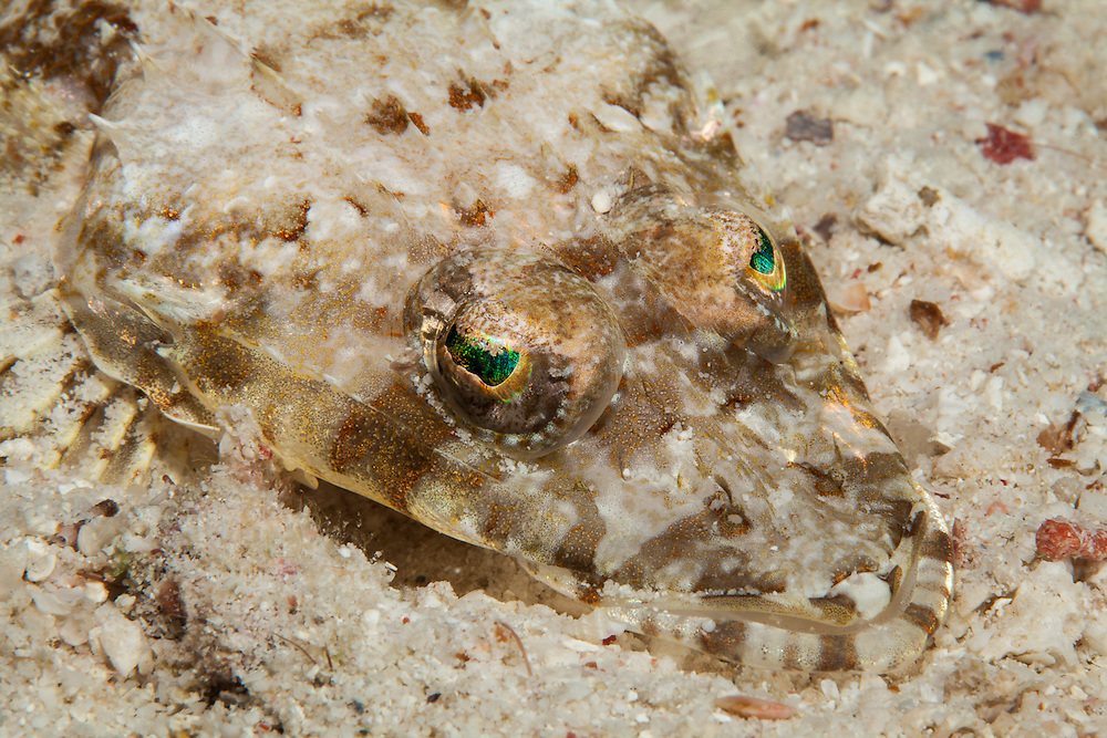 THAILAND. Similan Islands National Marine Park, Phangna Province. March 12th, 2013. A De Beaufort's flathead or crocodilefish (cymbacephalus beauforti) camoflauges itself in the sand while waiting for prey to swim by.  Captured on a night dive and Hin Kong bay in the northern most section of the marine park in the Surin Islands.
