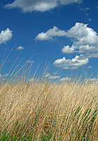 Big bluestem (Andropogon gerardii), also known as tallgrass is prominent on the North American prairie
