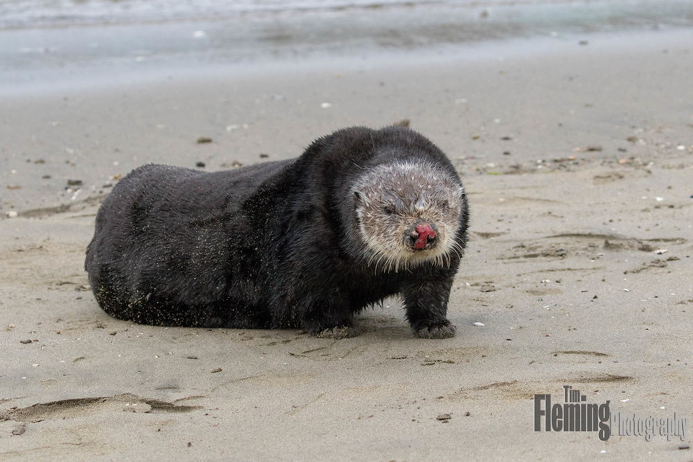 During mating, the male otter often bites the nose of the female, bloodying and scarring it.