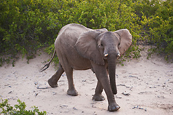 An aerial view down on a desert-adapted elephant (Loxodonta africana) walking at the base of a hill ,Skeleton Coast, Namibia,Africa
