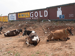 Cows tethered by the roadside with adverts on wall behind them, Mysore