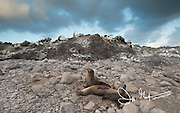 Galapagos sea lions rest on a rocky beach in front of a Nazca booby colony on Espanola island, Galapagos islands, Ecuador.