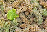 Harvest time - Vidal blanc grapes