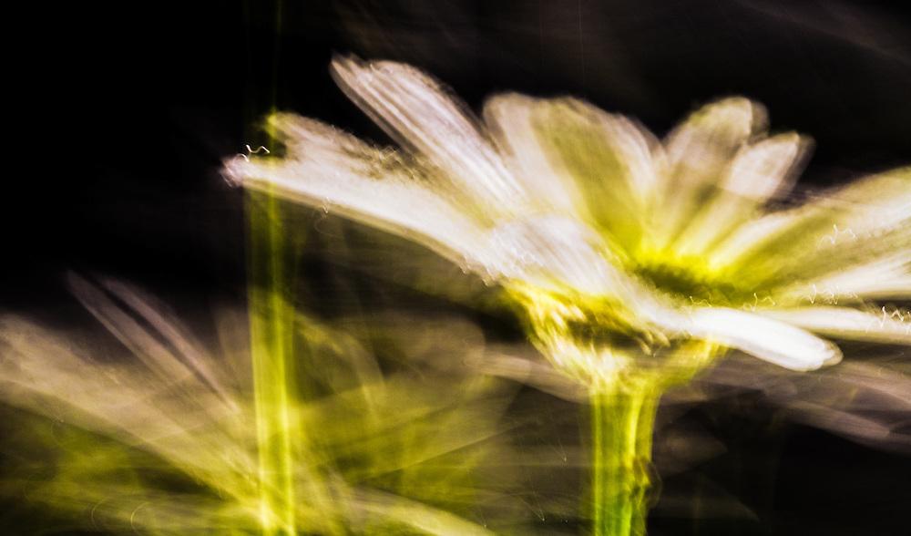 Fine Art daisy by Janice Sullivan.