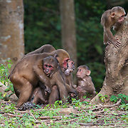 Stump-tailed macaques (Macaca arctoides) have thick, long, dark brown fur covering their bodies and short tails. Stump-tailed macaques have bright pink or red faces which darken to brown or nearly black as they age and are exposed to sunlight. They are covered with long, shaggy fur, but their short tails and faces are hairless and they go bald with age. Infants are born white and darken with age.