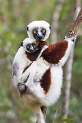 Coquerel's sifaka <br /> Propithecus coquereli<br /> Mother and three-month-old baby<br /> Eastern Madagascar, Africa