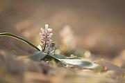 Flowering Desert Bellevalia (Bellevalia desertorum) Photographed in The northern Negev, Israel