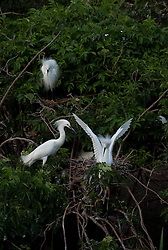Snowy Egrets (Egretta Thula) on nest