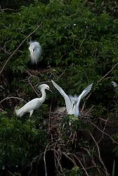 Snowy Egrets (Egretta Thula) on nest