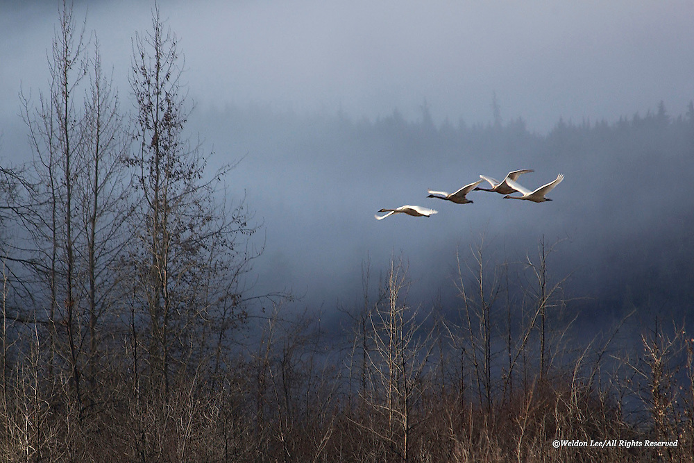 Trumpeter Swan<br /> Chilkat Bald Eagle Preserve, Alaska<br /> <br /> Magic emanates from the enchanted valley as it becomes transformed into a wonderland by the presence of low-hanging clouds; the only difference between the fog and the clouds is that one has escaped Earth&rsquo;s grasp, while the other clings yet to Her bosom. A family of Trumpeter Swans, transported by some unseen, benevolent hand to their favorite feeding location, completes the picture. Tis&rsquo; what dreams are made of &mdash; at least for this wildlife photographer.<br /> <br /> Edition of 500