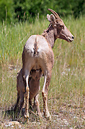 Bighorn Lambs suckles  in Rocky Mountain Habitat