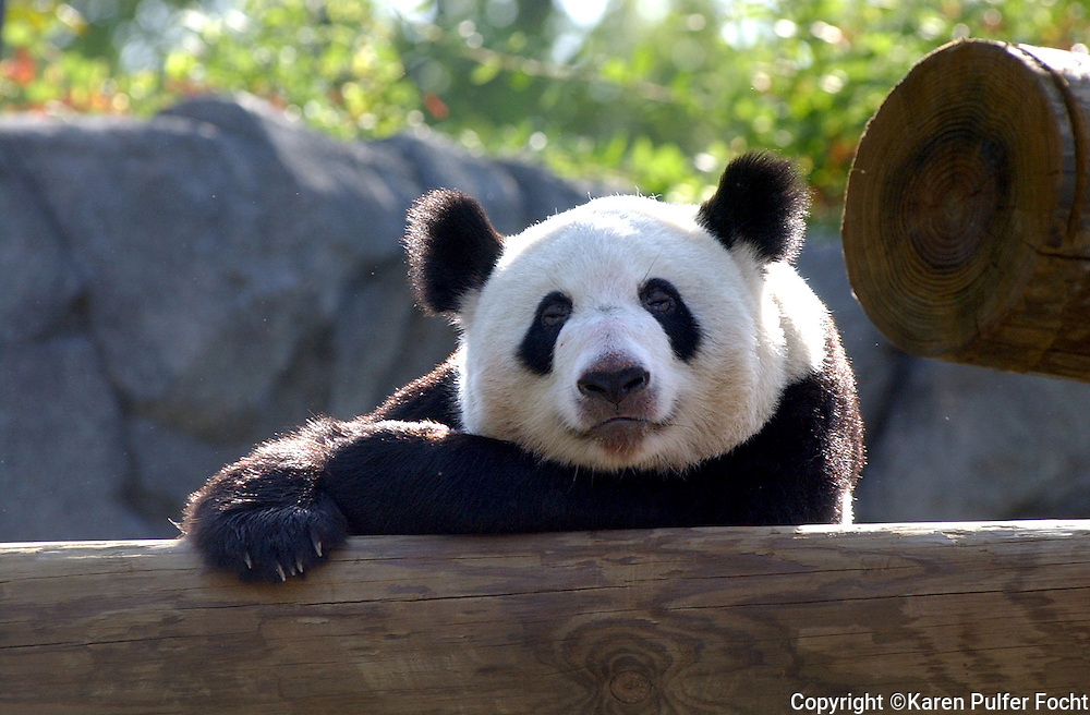 22 Apr 03: YaYa the Giant Panda brought to Memphis from the Beijing Zoo recently,  rests Tuesday morning in her outside play area.  The China exhibit opens on Friday and people will be let in  on a first come and first serve basis through Monday when tickets will  start to be sold online.