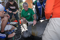 Manatee Health Assessments, Kings Bay, Crystal River, Citrus County, Florida USA. November 29, 2012 pm. Researchers from several federal and state agencies work together to gather data during the manatee capture and health assessments. Project Leader Dr. Robert K. Bonde preparing for a procedure on a manatee. The animal is only kept out of the water for a safe, pre-determined timespan.