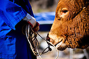 Held in Chungdo, South Korea annually, the bull fighting festival attracts spectators from all around the country for the week long event. The bulls are rarely injured, but instead engage in a battle of head to head strength. The last one to back away is the victor.