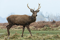 © Licensed to London News Pictures. 17/03/2018. London, UK. A stag in Bushy Park as more snow falls over the capital. Photo credit: Rob Pinney/LNP