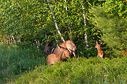 A radio collared cow elk and her calf graze along State Highway 77 near Clam Lake, Wisconsin.