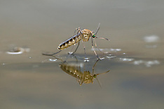 Muggen, midges