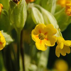 Primulaceae, Sleutelbloemfamilie
