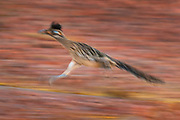 A greater roadrunner (Geococcyx californianus) races into a wash in the Sonoran Desert near Chandler, Arizona. Roadrunners, which are found throughout Mexico, Central America and the Southwestern United States, can run at speeds of up to 20 miles per hour (32 km/h).