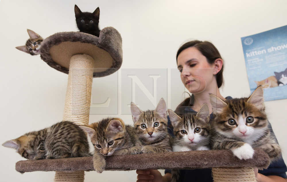 © Licensed to London News Pictures. 19/07/2013. London, England. Pictured: Volunteer Amy Jewell, 23, from London. With the Duchess of Cambridge about to give birth, staff at the Battersea Dogs & Cats Home have given 7 abandoned kittens royal names with the best odds. The 8-week-old kittens were found in a bin in North London and were named: tabbies: Alexandra 6/4, Victoria 9/1, Charlotte 6/1, Elizabeth 10/1, Grace 25/1, James 6/1 and black cat George 11/2. Each kitten will be celebrated at a special Kitten Shower at the centre, open to the public, on Saturday 27 July 2013. Photo credit: Bettina Strenske/LNP