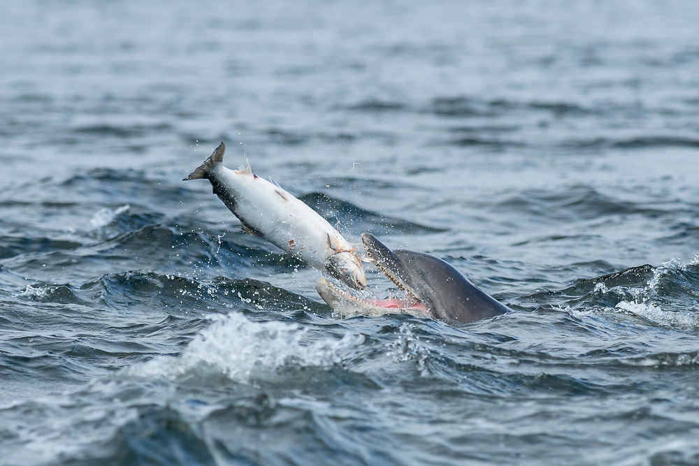 Bottlenose dolphin (Tursiops truncatus) , Moray Firth, Scotland, UK. Adult with large salmon.