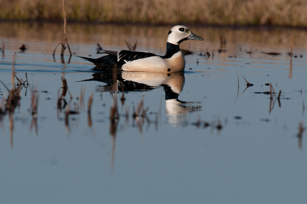 Steller's eider on tundra pond near Barrow Alaska
