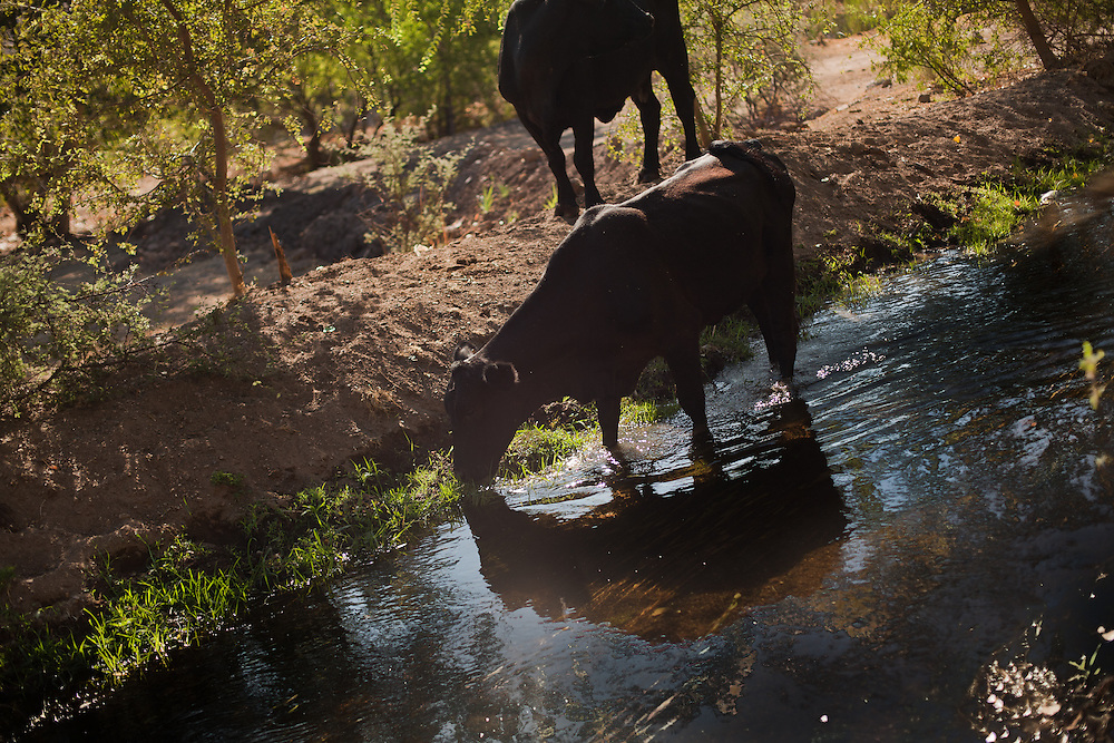 Cattle drink water from the irrigation canals that were build by the mormons in Colonia Juarez, Mexico in July 2011. United States Presidential candidate Mitt Romney's family migrated to Mexico over 100 years ago after being granted asylum from Mexican President Porfirio Diaz after they had been pursued by the U.S. authorities for polygamy. ..(Romney is currently running for the Republican nomination.)