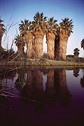 Skirted Palm trees reflected in natural desert pool at Thousand Palms, California.