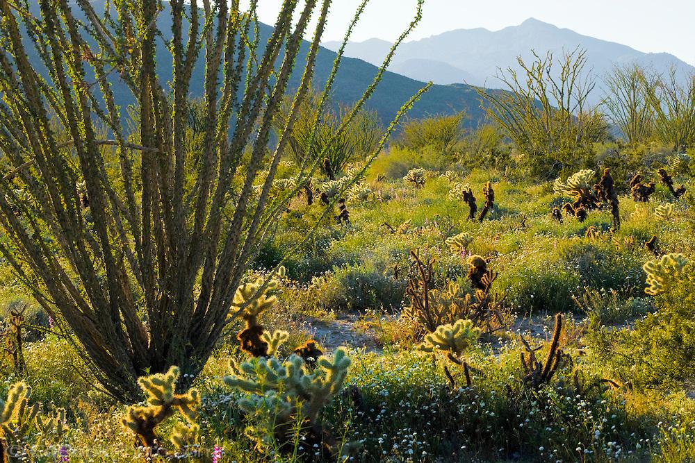 Springtime in the Anza-Borrego Desert State Park and Coyote Mountain, California, USA