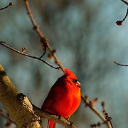 Male cardinal sitting in tree