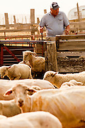 "05 JUNE 2011 - GREER, AZ: Mark Pedersen (CQ) sorts shorn sheep at the Sheep Springs Sheep Co camp northwest of Greer Sunday. Mark Pedersen (CQ), of Sheep Springs Sheep Co, said they drove about 2,000 sheep from Chandler up to their summer pastures near Greer. They were supposed to start shearing on Friday, but didn't start till Friday because of the Wallow Fire. They also run cattle on land southeast of the sheep pasture, closer to Greer. Pedersen said they were prepared to move both the cattle and the sheep if they had to. He said the biggest problem with the smoke was that it bothered the sheeps' lungs much the same way it bother people's lungs. The fire grew to more than 180,000 acres by Sunday with zero containment. A ""Type I"" incident command team has taken command of the fire.  PHOTO BY JACK KURTZ"