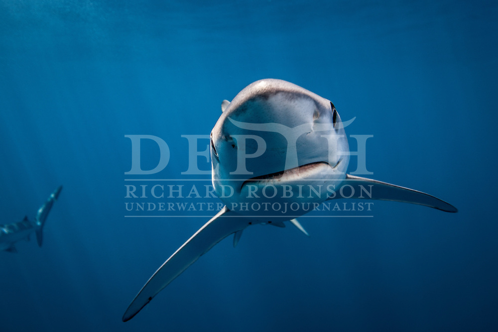 Underwater Photography of Prionace glauca (Blue Shark).Sunday 10 February 2013. Photograph Richard Robinson © 2013.