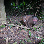 The stump-tailed macaque has long, thick, dark brown fur covering its body, but its face and its short tail, which measures between 32 and 69mm, are hairless.Infants are born white and darken as they mature.