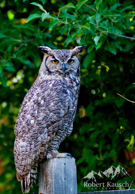 Mr. Owl presides over his fence.