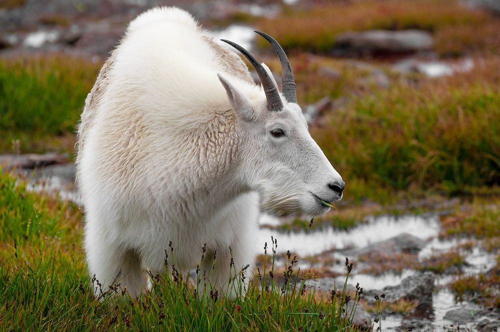I captured this wonderful shot of a Mt Goat on Mt Evans as he posed in the afternoon light!<br />