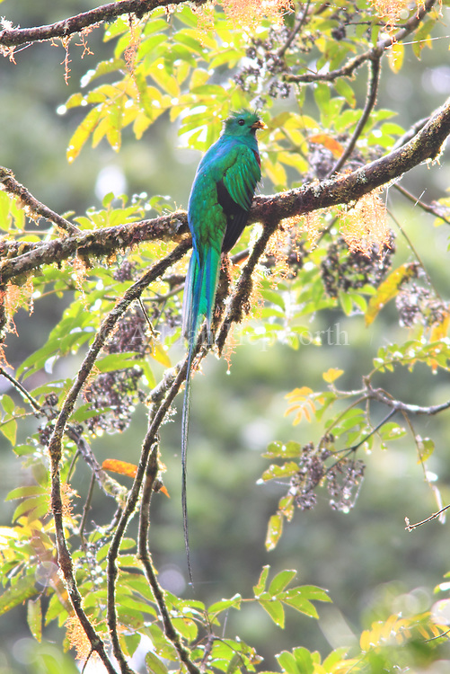 Male Resplendent Quetzal (Pharomachrus mocinno)..Cloud forest on Cerro de la Muerte mountain, south-east of San Jos&eacute;. <br />