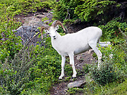 Dall Sheep (Orvis dalli) young ram crossing a game trail in the mountains along Turnagain Arm, Chugach State Park.
