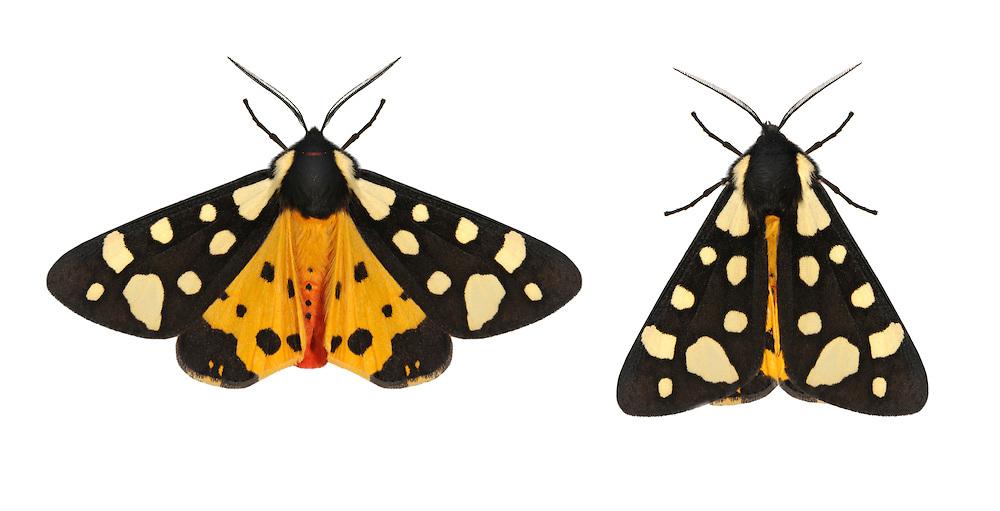 72.027 (2058)<br /> Cream-spot Tiger - Arctia villica
