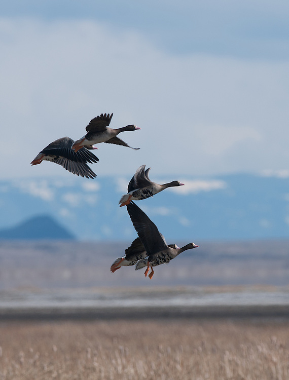 A group of speckle belly geese take flight.