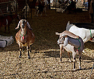 Cornwall, New York  - Dairy goats at Edgwick Farm on Feb. 4, 2012.