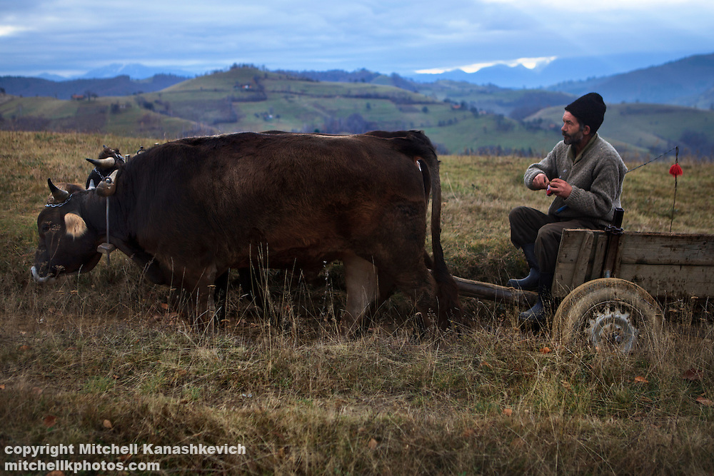 Rural Romanian man rides through the countryside in a bullock cart.