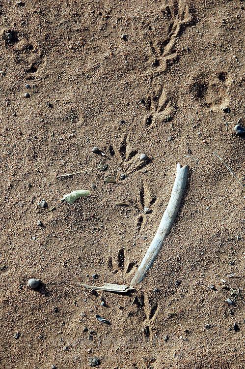 Niger, Agadez, Tidene, 2007. Hornbill tracks in the desert outside Rissa Ixa's camp. These great birds subsist on the fruit borne by Tidene's sparse trees.