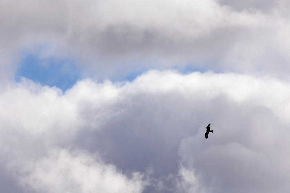 Red Kite Milvus milvus) in flight amidst clouds, northern Scotland