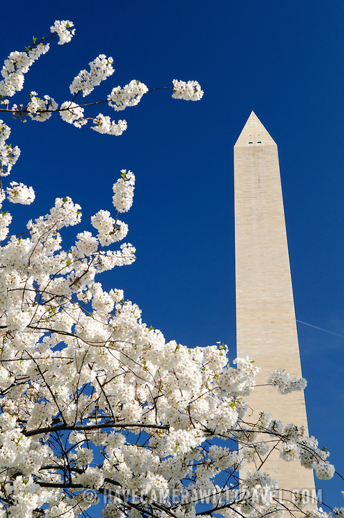 Washington Monument against blue sky and white Cherry Blossom flowers in early spring.