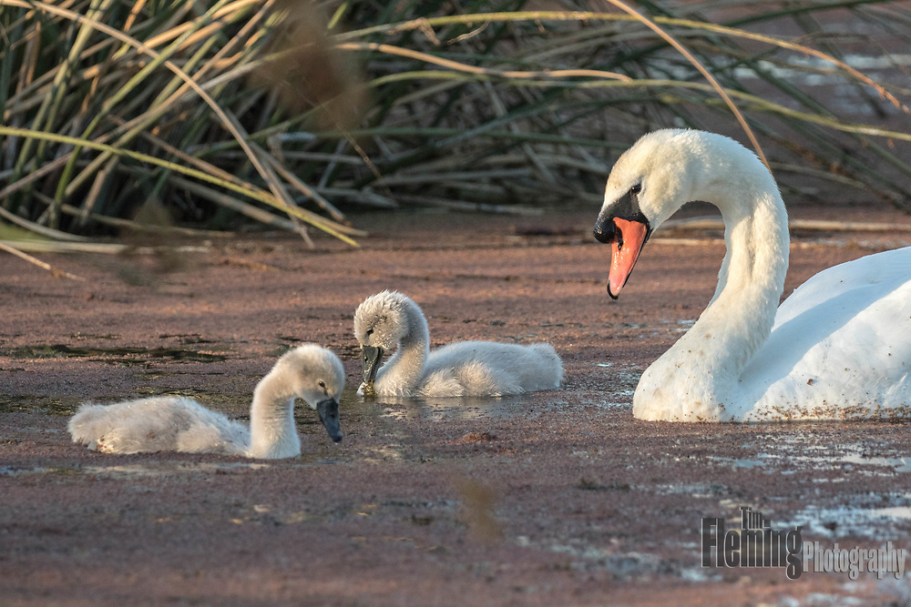 2 cygnets and their parent