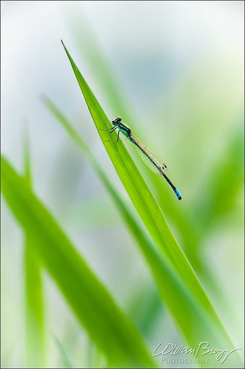 Blue-tipped green Damselfly