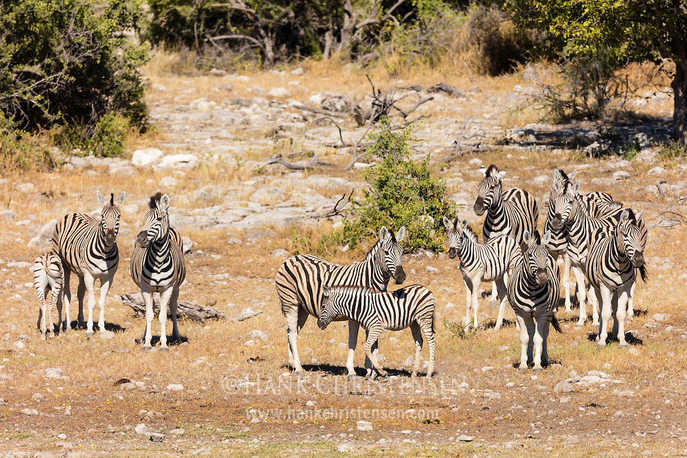 A herd of zebra mill around waiting their turn at a waterhole, Etosha National Park, Namibia.