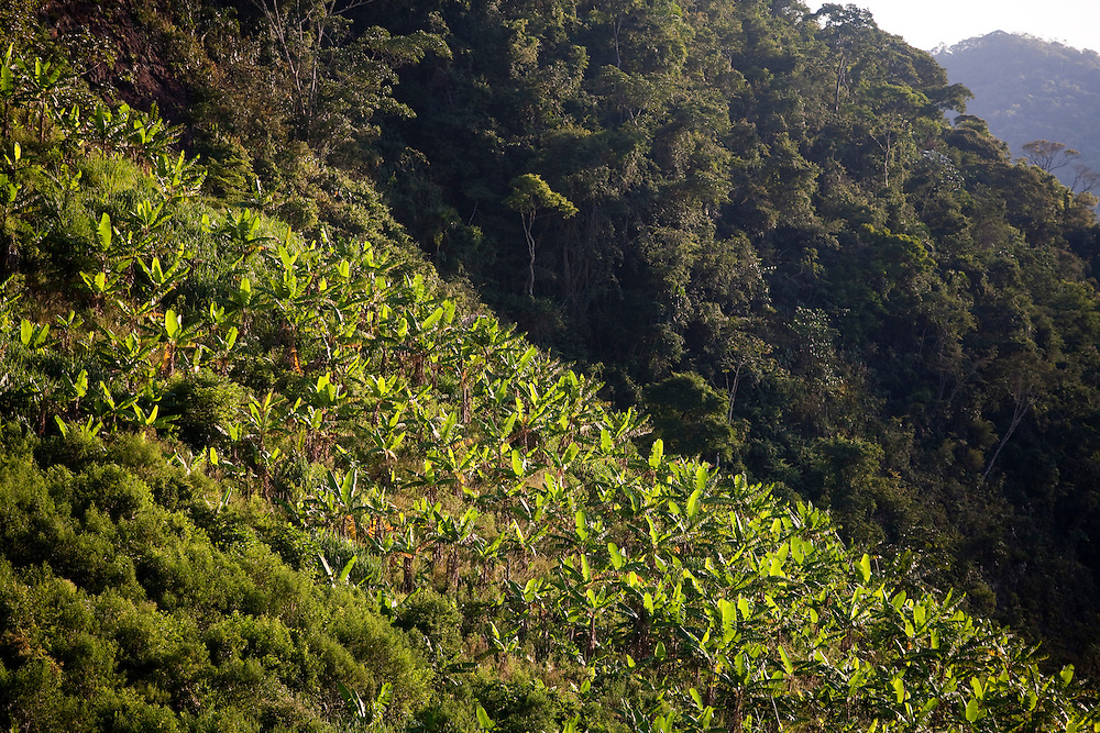 Domingos Martins_ES, Brasil...Plantacao de banana em Domingos Martins, a cidade faz parte da Rota Imperial...The banana plantation in Domingos Martins, this city is part of the Imperial Route...Foto: LEO DRUMOND / NITRO